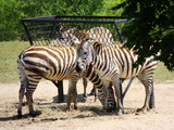49267-03-cape-may-county-park-zoo-zebras-sm