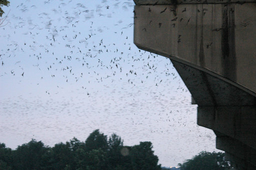 Flying high in TripAdvisor's round up of offbeat summer events, Batfest celebrates the world's largest urban bat colony. (Photo: French N. Smith IV)