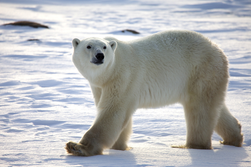 Polar bear in the Arctic.  © 2011 Warner Bros. Entertainment Inc. ToTheArctic.com