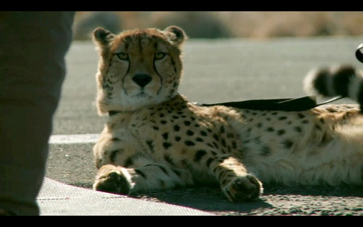 Hyundai's ''Cheetah'' Super Bowl spot features a caged cheetah set to race a new 201-horsepower Hyundai Veloster Turbo on a long stretch of open road.