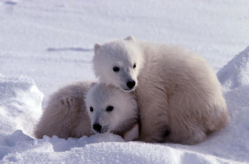 Polar bear cubs stick together in the Arctic. They follow their mother closely, learning how to hunt seals and survive in the harsh arctic environment.   ©Daniel J. Cox/PolarBearsInternational.org