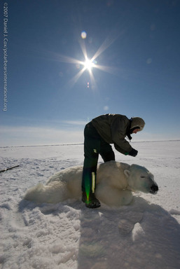 Dr. Steve Amstrup obtains data on an adult bear in the Arctic, analyzing its health and condition as part of a long-range population study.   ©Daniel J. Cox/PolarBearsInternational.org