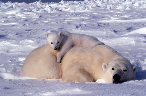 A mother and her cub relaxing in the wild.  ©Daniel J. Cox/PolarBearsInternational.org