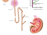 56285-nephron-color-with-caption-sm
