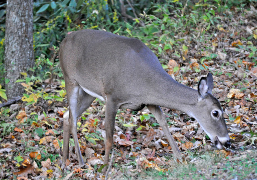November, the heart of the deer hunting and mating season, is the month during which deer-vehicle encounters are most likely. October is the second most likely month for a crash involving a deer.