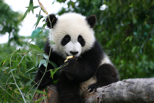 A young panda enjoys snack time at the Chengdu Panda Base in the Sichuan Province of southwest China