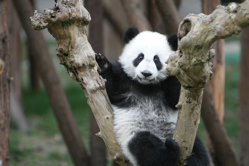 It's play time in the trees for a young panda at the Chengdu Panda Base in the Sichuan Province of southwest China