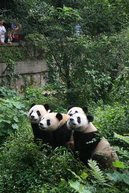 An eager group of pandas great visitors at the Chengdu Panda Base in the Sichuan Province of southwest China