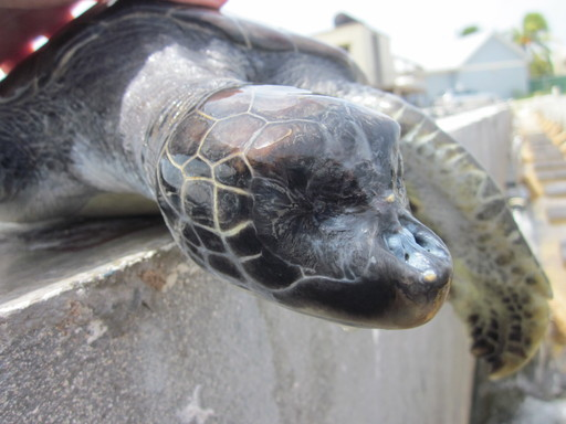 WSPA's investigation at the Cayman Turtle Farm uncovered horrible animal neglect. Pictured: Many turtles at the farm suffer from disease and birth defects, such as injured fins or missing eyes.