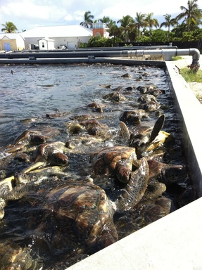 At the farm, thousands of sea turtles are kept in dirty, packed touch tanks. Swimming in water filled with their own waste, the turtles fight for food, bite each other and even resort to cannibalism.