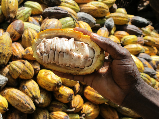 Inside the pods that grow directly from the trunk and main branches of the cocoa tree are the cocoa beans used to make chocolate