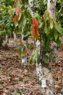 An alternative to replanting, grafting is a technique where a branch from a high quality cocoa tree is inserted into the trunk of an old cocoa tree