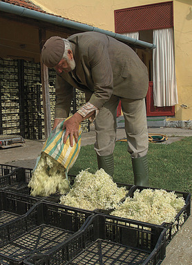 When picked, blossoms are delivered to small collection stations where they are quickly macerated to capture freshness and enhance the fruit-driven character of the elderflower.