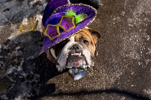 In this image provided by Purina®, Mojo shows off a hilarious Mardi Gras costume and wins the title of King at the 20th annual Beggin'® Pet Parade Sunday, Feb. 3, 2013 in St. Louis