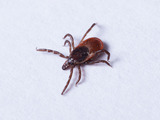 61330-ixodes-scapularis-adult-female-sm
