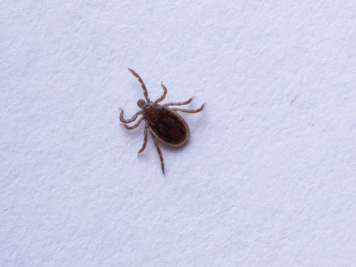 Nymph Deer Tick