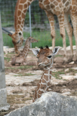 Seven-year-old Reticulated Giraffe Carol cares for her twins born May 10 at Natural Bridge Wildlife Ranch. The giraffe twins are the only living set and the second set born in the United States.