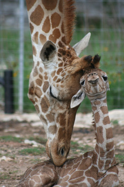 Nakato, the male twin giraffe of the only living set in the US, gets mom's attention shortly after birth. Born May 10 at Natural Bridge Wildlife Ranch, the twins are the second set born in the US.