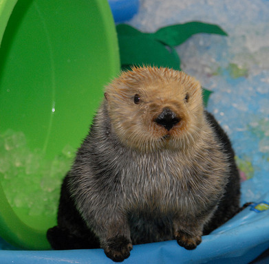 Emma the Sea Otter