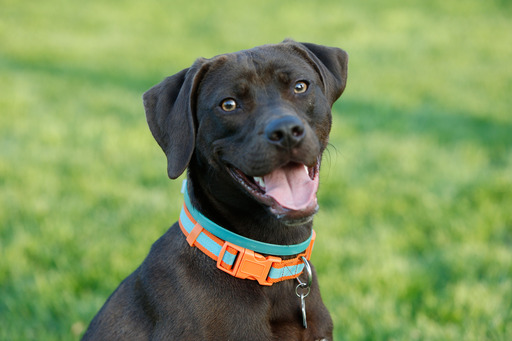 Adopted dog, Kane, looks content in his new home in Milwaukee, Wis. Kane traveled cross-country through the PetSmart Charities® Rescue Waggin'® program to find his forever home (Scott Boehm/AP Images).