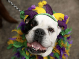 In this photo provided by Purina, Jager, a 6-year-old Old English Bulldog, waits for the parade to start with its owner, Tina Needham, at the 21st annual Beggin'® Pet Parade Sunday, Feb. 23, 2014 in St. Louis. (AP Photo/Purina, Whitney Curtis)
