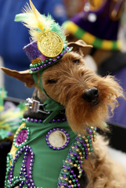 In this photo provided by Purina, Rozi Z, a 7-year-old Welsh Terrier, waits for the parade to start at the 21st annual Beggin'® Pet Parade Sunday, Feb. 23, 2014 in St. Louis. (AP Photo/Purina, Whitney Curtis)