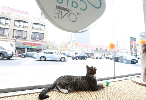 Cat lounges and makes itself at home at the new Cat Café by Purina ONE in New York. (Photo by Amy Sussman/Invision for Purina ONE/AP Images)