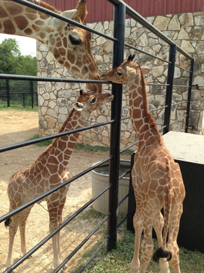 Rare twin Reticulated Giraffes, Wasswa and Nakato, get attention from mother Carol a few days after birth. They have defied odds, reaching their milestone first birthday May 10, 2014.