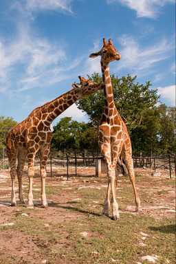 One-year-old Nakato prods twin sister Wasswa. The only set of twin Reticulated Giraffes in the U.S. and ninth in the world, celebrate their first birthday May 10, 2014.