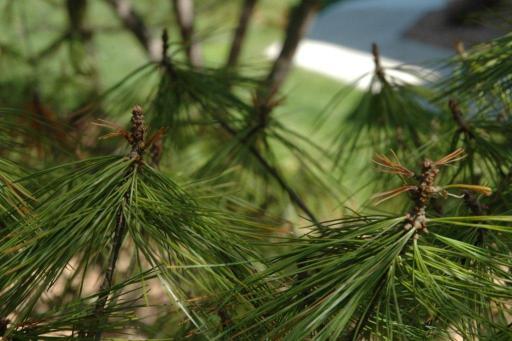 Pine Umbrella