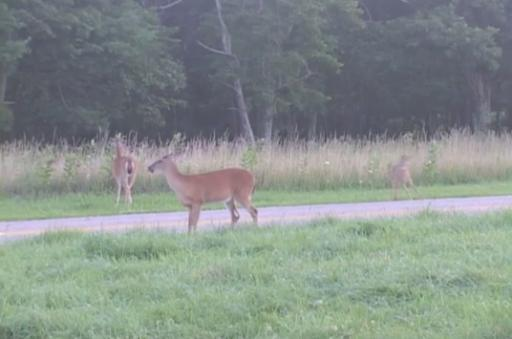 Deer by the side of the road