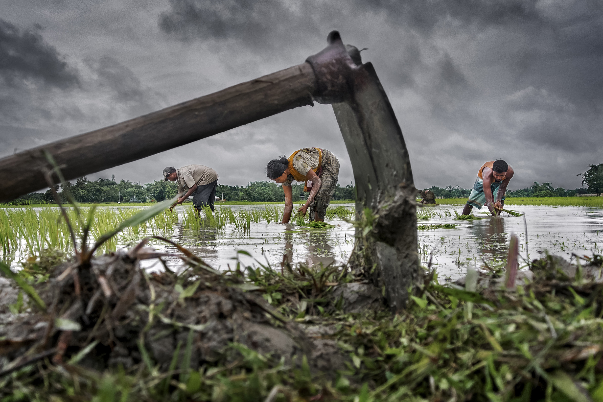 The Grand Prize Winner, by Sujan Sarkar of India, depicts farmers working in a rice paddy in West Bengal, India.