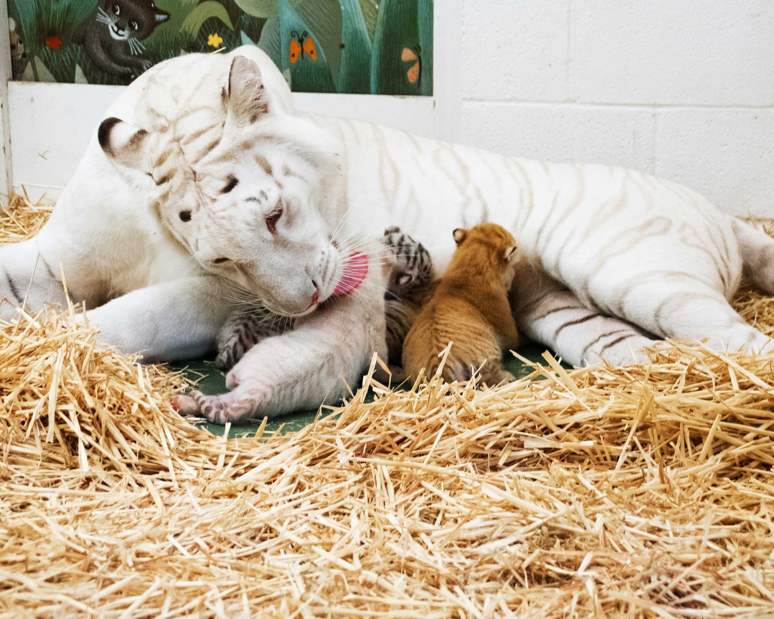 Siegfried & Roy's @SARMOTIcubs with their mother, Indira