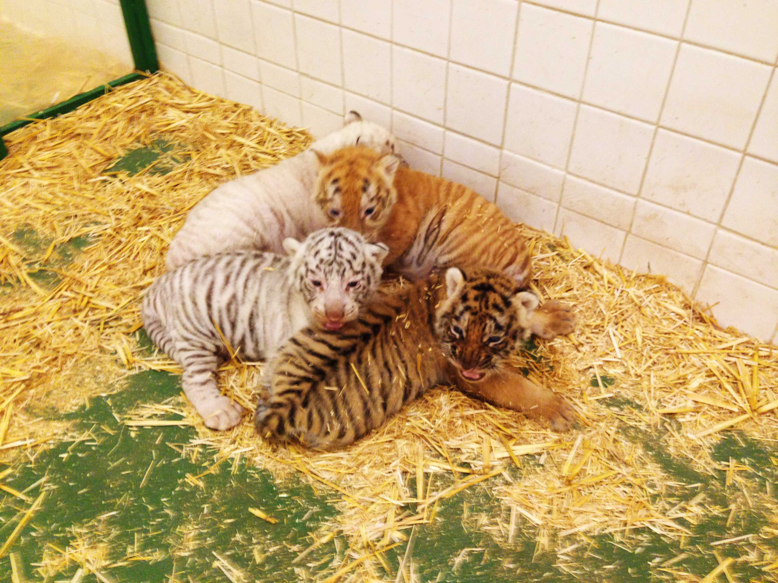 The @SARMOTIcubs are the first tiger cubs to be introduced at Siegfried & Roy's Secret Garden and Dolphin Habitat at The Mirage in five years