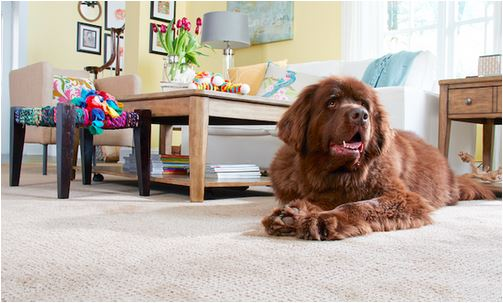 You'll have a bundle of snuggles worry-free with STAINMASTER® PetProtect® Carpet!