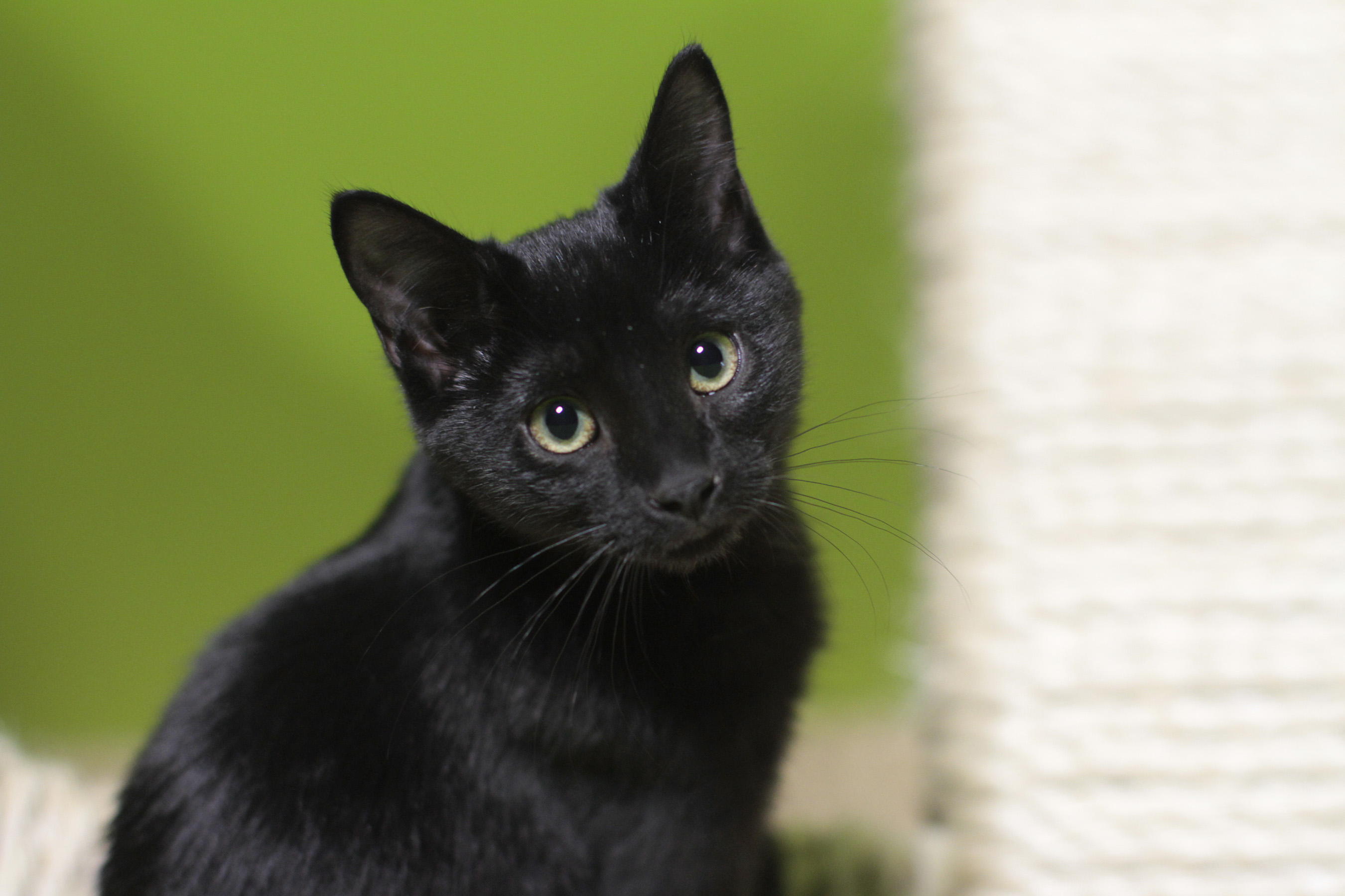 A Purina survey found that almost 50 percent of millennials surveyed own cats.