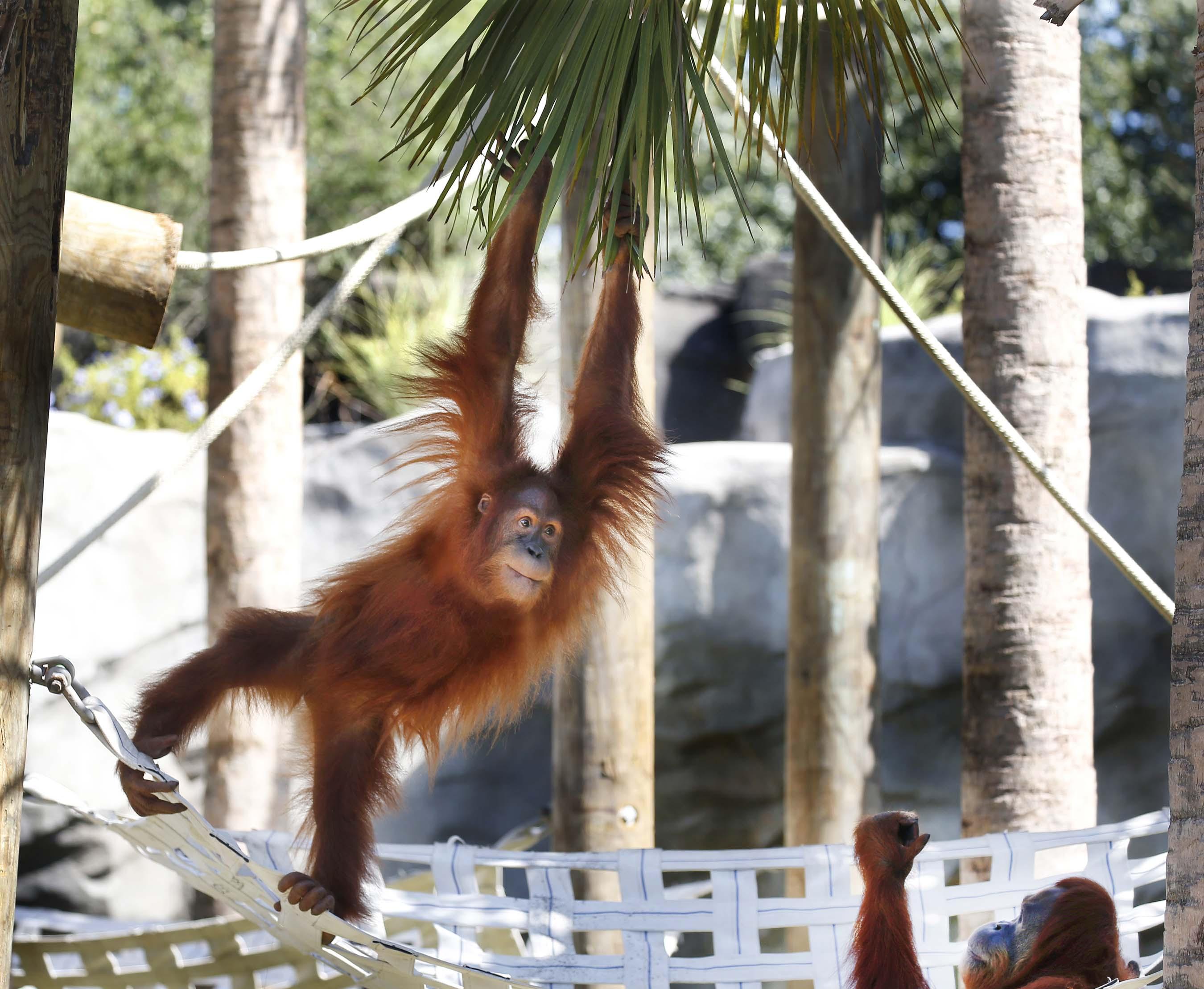 Audubon Zoo Orangutan
