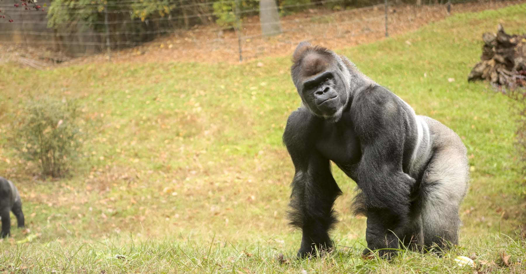 Bantu, an 18-year-old male silverback who sired Ubuntu and Obi, is the father of the new gorilla baby due in mid-September. This will be his third offspring.