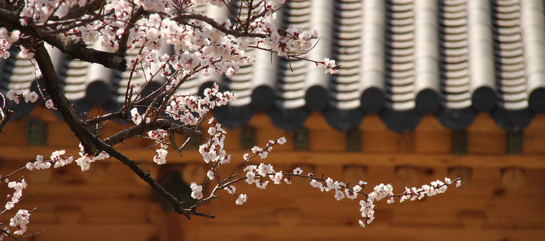 A branch of cherry blossoms in front of a temple.
