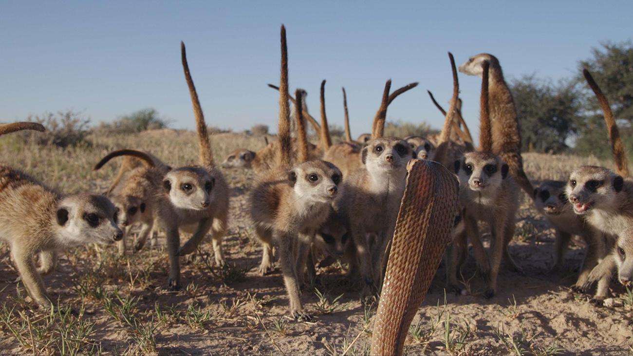 Un grupo de suricatos se enfrenta a una serpiente cobra en Sudáfrica. Serie SOBREVIVIR, estreno el 18 de octubre en Discovery en Español (©BBC 2014).