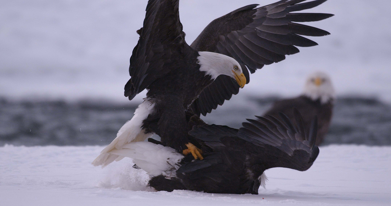 A bald eagle attacks a rival in a squabble for food at the edge of this Alaskan river. SOBREVIVIR premieres October 18 on Discovery en Español (©BBC 2014.)