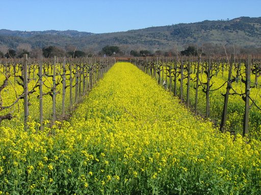 The famous vineyards of Napa, California, an award-winning destination in TripAdvisor's Travelers' Choice Food and Wine Destinations awards. (A TripAdvisor traveler photo)
