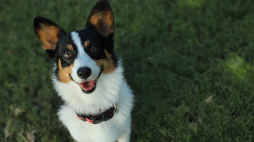 Willow, submitted by AZ Cactus Corgi Rescue (Glendale, Ariz.)