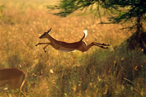 Small deer jumping in field