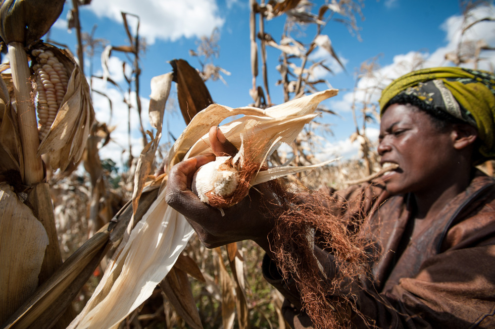 A woman working with One Acre Fund in Tanzania harvests her maize. Photo by Hailey Tucker. 2014 CGAP Photo Contest