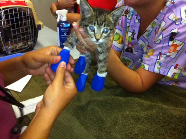 A kitten is being treated for burns by animal shelter volunteers and veterinarians.