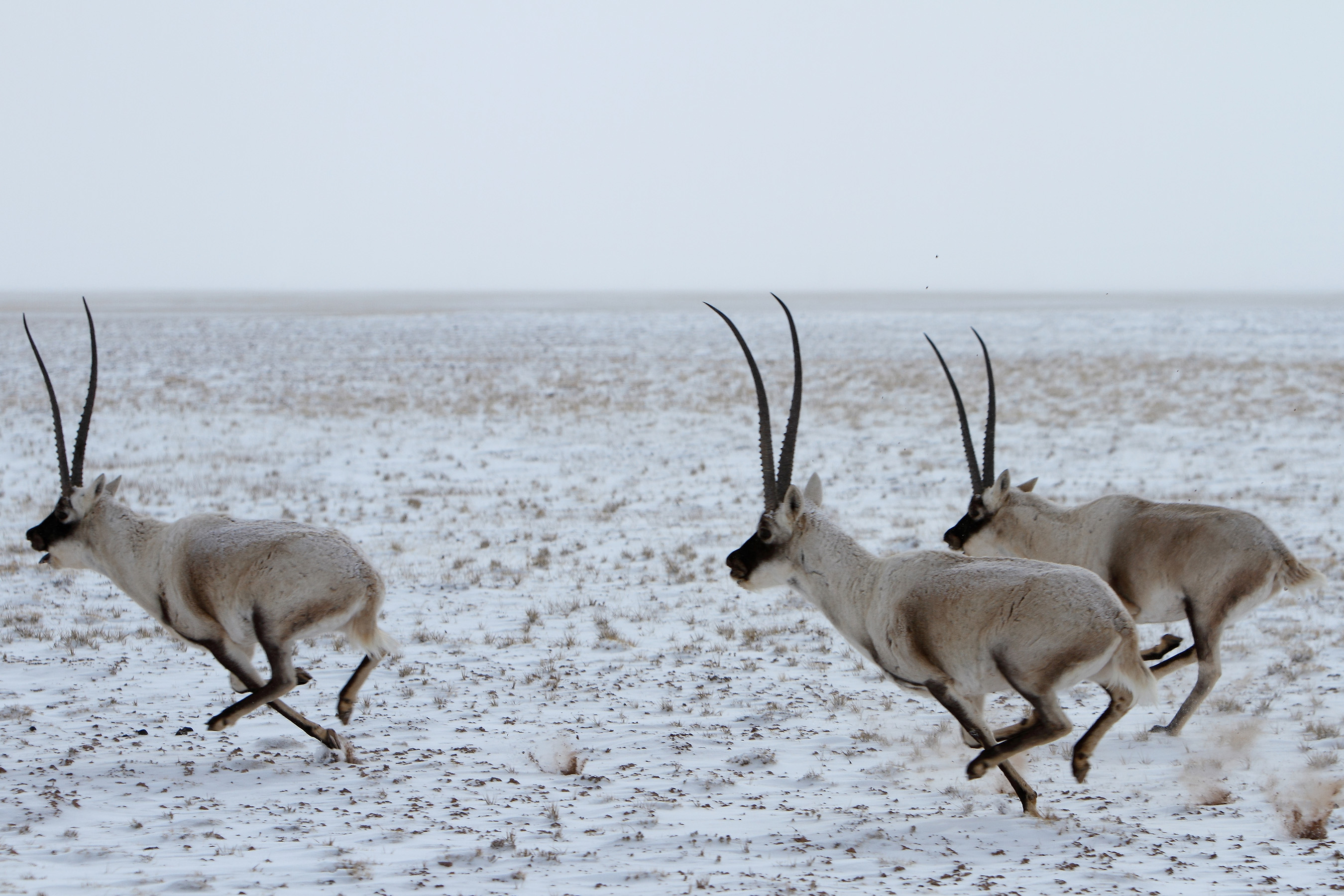 The High altitude plateau valleys in Sanjiangyuan area have been an ideal habitat for rare wildlife species like Tibetan antelope.