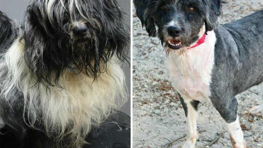 Banjo was found living in a car with his homeless owner. He was rescued after being trapped in the car with the windows up on a 95 degree day. Old injuries and ticks lurked beneath all his matted fur, but once he was cleaned up he yipped with delight.