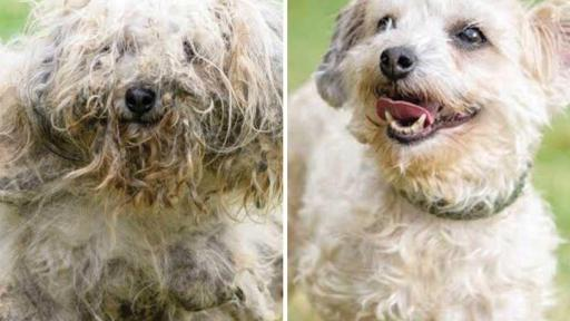 Crinolin was rescued from a hoarding situation. He was found in such bad shape, you couldn't tell what kind of dog was living beneath all that matted fur. With some careful grooming, however, a happy-go-lucky dog emerged and now the first thing people notice is his cheerful face.