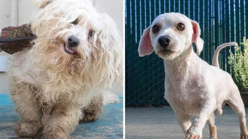 Gizmo was found completely weighted down with matted fur, but after his grooming he now has a spring in his step.